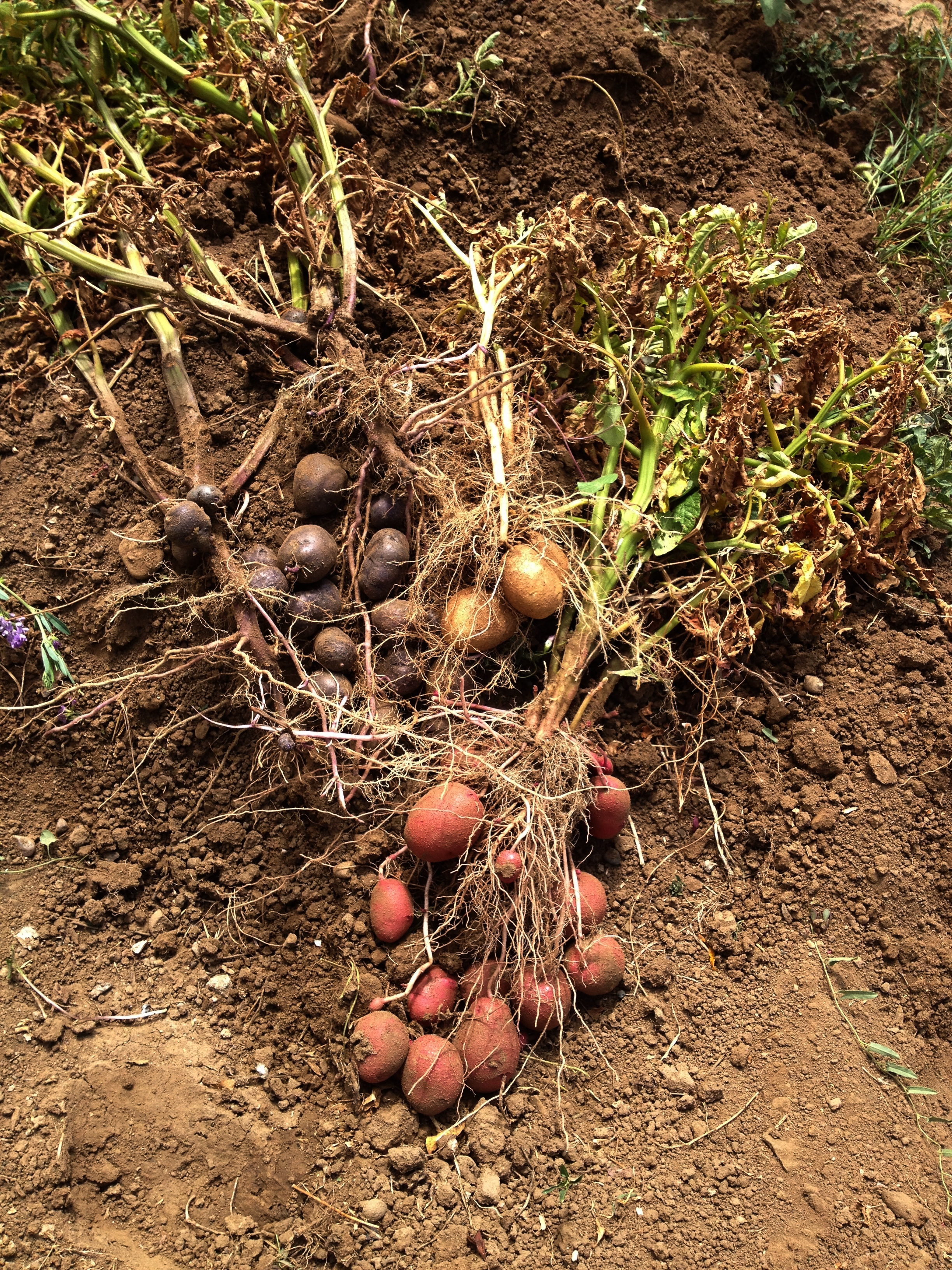 Lovely How To Grow Red Potatoes Part   2: Lovely How To Grow Red Potatoes Idea