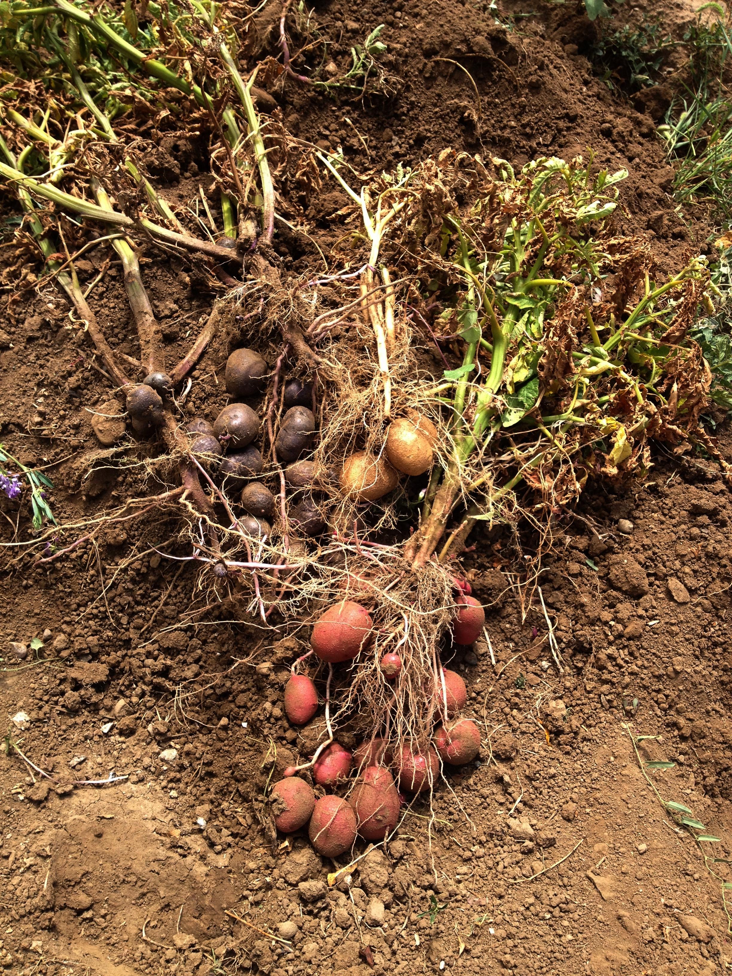 Harvesting potatoes at Sol Feliz | Sol Feliz Farm & AIRE