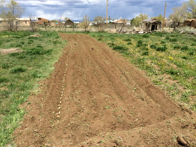 May 8. 2016. Soil prepared with 8hp rototiller and planted with potatoes.