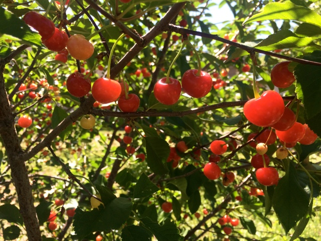 July 4, 2016. Cherries await harvesting and are the first fruit of the season.