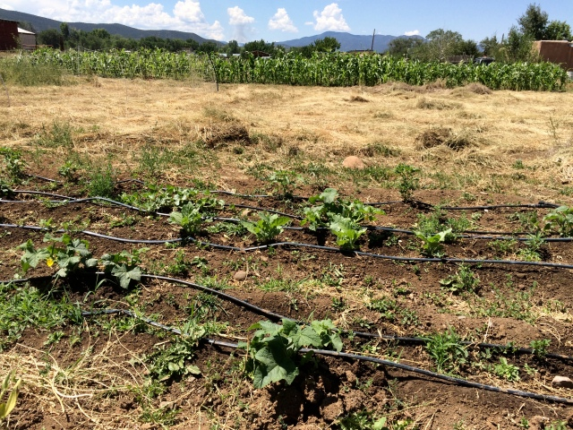 "July 28, 2016. A plot of ""melon mexicano,"" cucumbers, and chile is also supported by drip irrigation after the acequia irrigation season ends."