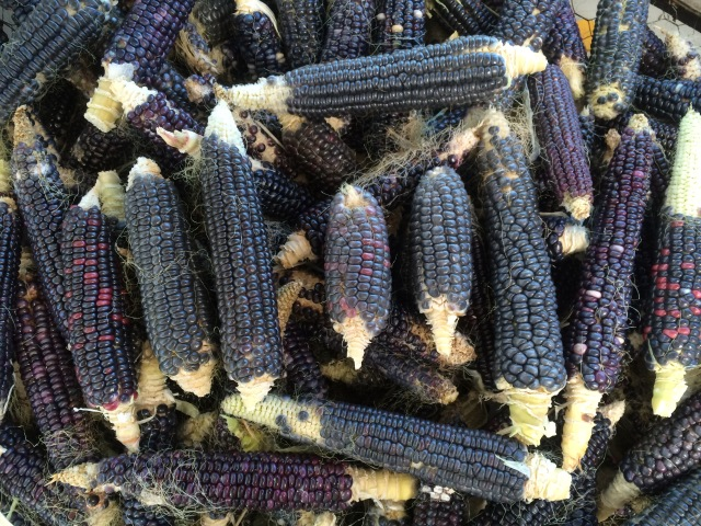 Blue corn harvest is husked and put out to dry before grinding.